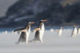Gentoo Penguin Walking to their Rookery, Falkland Islands Foto av Martin Zwick