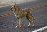 Coyote at Badwater Basin, Death Valley NP, Mojave Desert, California Photo by David Wall