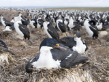 Imperial Shag also Called King Shag in a Huge Rookery Photo by Martin Zwick