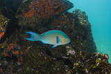 Blue-Chin Parrotfish (Scarus Ghobban) Galapagos Islands, Ecuador Photo by Pete Oxford