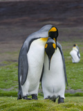 King Penguin, Falkland Islands, South Atlantic. Courtship Display Photo by Martin Zwick
