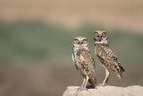 USA, Arizona, Buckeye. a Pair of Burrowing Owls Photo by Wendy Kaveney