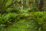 USA, California, Redwoods NP. Ferns and Mossy Trees in Forest Photo by Cathy & Gordon Illg