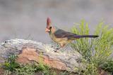 USA, Arizona, Amado. Female Cardinal Perched on Rock Photo by Wendy Kaveney