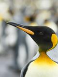 King Penguin, Falkland Islands, South Atlantic. Portrait Photo by Martin Zwick