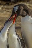 Falkland Islands, Sea Lion Island. Gentoo Penguin Feeding Chicks Photo by Cathy & Gordon Illg