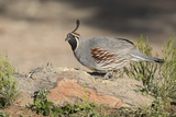USA, Arizona, Amado. Male Gambel's Quail Perched on a Rock Photo by Wendy Kaveney