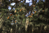 California. Monarch Butterflies at Monarch Grove Butterfly Sanctuary Photo by Kymri Wilt