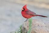 USA, Arizona, Amado. Male Northern Cardinal Perched on Rock Photo by Wendy Kaveney