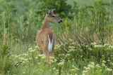 Colorado, Rocky Mountain Arsenal NWR. White-Tailed Deer in Field Photo by Cathy & Gordon Illg