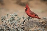 USA, Arizona, Amado. Male Northern Cardinal on Rock Photo by Wendy Kaveney