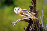A Barn Owl (Tyto Alba) Perching Fotografía por Richard Wright