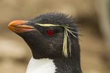 Falkland Islands, Saunders Island. Rockhopper Penguin Portrait Photo by Cathy & Gordon Illg