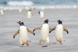 Gentoo Penguin Walking to their Rookery, Falkland Islands Foto af Martin Zwick