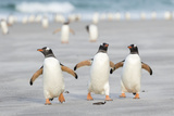 Gentoo Penguin Walking to their Rookery, Falkland Islands Foto van Martin Zwick