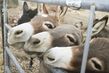 Miniature Donkeys on a Ranch in Northern California, USA Foto di Susan Pease