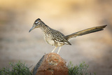 USA, Arizona, Santa Rita Mountains. a Greater Roadrunner on Rock Photo by Wendy Kaveney