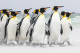 Falkland Islands, South Atlantic. Group of King Penguins on Beach Foto di Martin Zwick