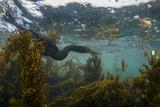 Flightless Cormorant Underwater Galapagos Islands, Ecuador Photo by Pete Oxford
