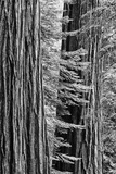 USA, California, Yosemite NP. Sequoia Trees in the Mariposa Grove Photo by Dennis Flaherty