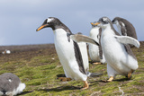Falkland Islands. Gentoo Penguin Chicks Only Fed after a Wild Pursuit Photo by Martin Zwick