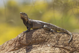 USA, Arizona, Sonoran Desert. Spiny-Tailed Iguana on Rock Photo by Cathy & Gordon Illg