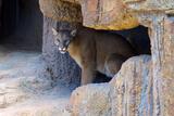 Mountain Lion. Captive, Arizona, Sonoran Desert Museum Photo by Richard Wright