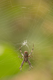 Common Orb Weaver (Neoscona) on Web, Los Angeles, California Photo by Rob Sheppard