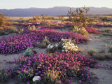 California, Anza Borrego Desert State Park, Desert Wildflowers Photo by Christopher Talbot Frank
