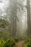 USA, California, Redwoods NP. Trail Through Redwood Trees and Fog Photo by Cathy & Gordon Illg