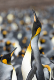 Falkland Islands, South Atlantic. King Penguin Trumpeting Photo by Martin Zwick