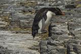Falkland Islands, Bleaker Island. Rockhopper Penguin Photo by Cathy & Gordon Illg