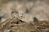 USA, Arizona, Buckeye. Harris's Antelope Squirrel on Log Photo by Wendy Kaveney
