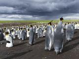 King Penguin Colony on the Falkland Islands, South Atlantic Photo by Martin Zwick
