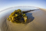 Kelp on Shore, Montana de Oro SP, Central Coast, California Photo by Rob Sheppard