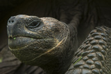 Galapagos Giant Tortoise Santa Cruz Island Galapagos Islands, Ecuador Photo by Pete Oxford