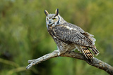 Great Horned Owl, also known as the Tiger Owl Photo by Richard Wright