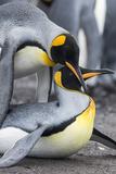 King Penguin, Falkland Islands, South Atlantic. Mating Photo by Martin Zwick