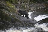 Alaska, Traitors Cove, Ketchikan. Black Bears Trying to Catch Salmon Foto van Savanah Stewart
