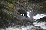 Alaska, Traitors Cove, Ketchikan. Black Bears Trying to Catch Salmon Photo by Savanah Stewart