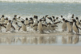 Falkland Islands, Saunders Island. Rockhopper Penguins Returning Photo by Cathy & Gordon Illg