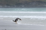 Gentoo Penguin on the Falkland Islands, Walking into the Surf Photo by Martin Zwick