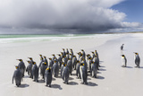 Falkland Islands. King Penguins Watch as a Storm Approaches Photo by Martin Zwick