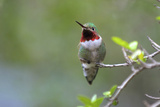 A Ruby-Throated Hummingbird, One of the Most Common of the Hummers Photo by Richard Wright