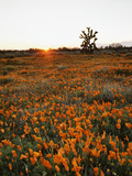 California, Antelope Valley, Sunrise Behind a Joshua Tree and Flowers Photo by Christopher Talbot Frank