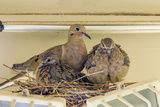 Sheltered Nesting Space and Mourning Dove Family Atop a Security Light Photo by Michael Qualls