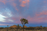 Joshua Trees in Sunset Light in Joshua Tree NP, California, USA Photo by Chuck Haney