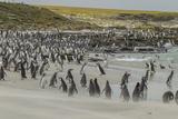 Falkland Islands, Bleaker Island. Magellanic and Gentoo Penguins Photo by Cathy & Gordon Illg