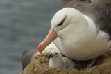 Falkland Islands, Saunders Island. Black-Browed Albatross with Chick Photo by Cathy & Gordon Illg