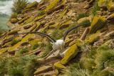 Falkland Islands, Saunders Island. Black-Browed Albatross Photo by Cathy & Gordon Illg